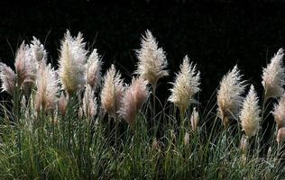 herbe de pampa, cortaderia selloana photo