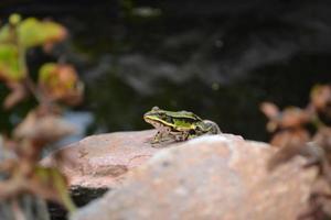 grenouille au bord de la rivière photo