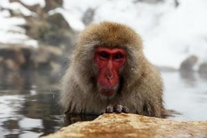 singes des neiges au japon photo