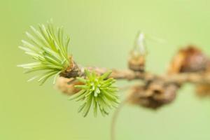 printemps mélèze
