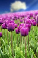 tulipes de printemps photo