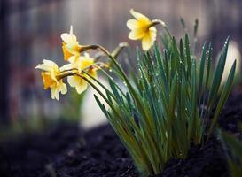 narcisse de printemps photo