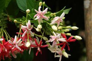 les fleurs parfumées changent de couleur de la plante grimpante de rangoon. photo