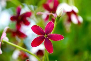 fleur rouge et rose de plante grimpante de rangoon. photo