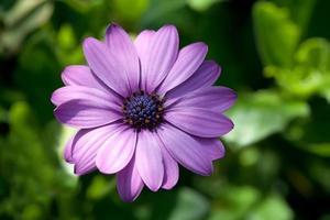 fleur d'aster. violet. photo