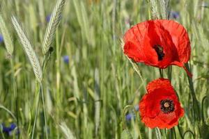 paysage rural - coquelicots rouges