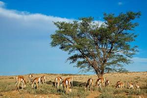 paysage d'antilopes springbok