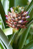 fruits et fleurs d'ananas photo
