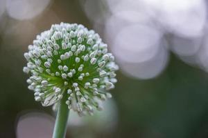 fleur d'oignon - paysage - avec bokeh photo