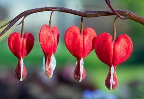 fleurs de cœur saignant rouge dans une rangée photo