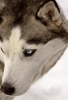 husky sibérien en hiver photo