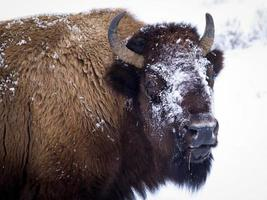 Bison broutant en hiver photo