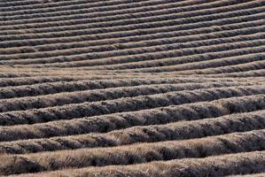 champ de lavandes en hiver
