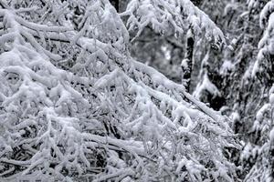 forêt d'hiver. neige.