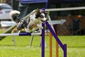 border collie sur un cours d'agilité pour chiens photo