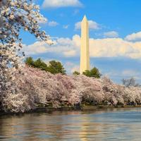 Washington DC Cherry Blossom avec lac et monument de Washington.