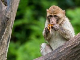macaque barbary