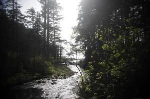 sapins douglas du nord-ouest du pacifique photo