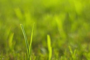 détail de l'herbe verte photo