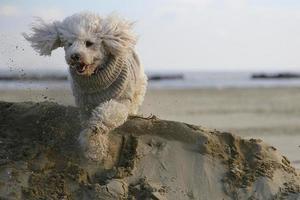 caniche chien photo