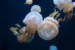 méduse tachetée photo