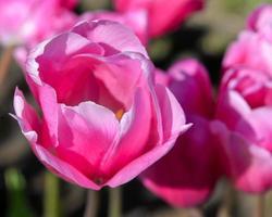 gros plan de tulipe rose