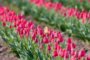 tulipe orange photo