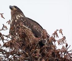 Pygargue à tête blanche immature dans l'arbre skagit county washington