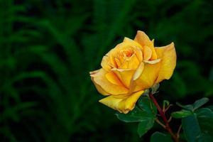 belle rose en pleine floraison