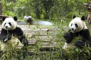 pandas se nourrissant