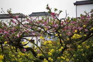 rose pêche jaune canola fleurs blanches bâtiments chinois sichuan photo
