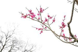 fleur de prunier photo