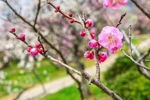 fleur de prunier au début du printemps