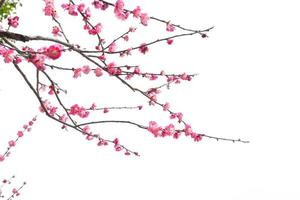 fleurs de prunier photo
