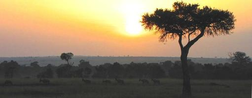 coucher de soleil à kenia, masai mara, parapluie épine acacia photo