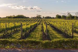 Vignoble de raisin au coucher du soleil