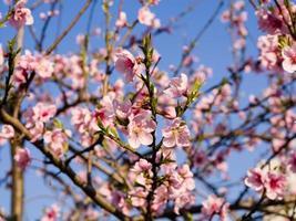 série de fleurs de printemps, floraison de pêche rose