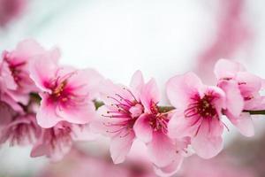 branche d'arbre en fleurs au printemps avec fond estompé photo