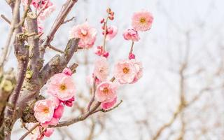 fleurs au printemps série: prune en fleurs au printemps photo