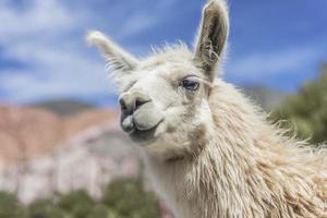 Lama à Purmamarca, Jujuy, Argentine. photo