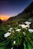 Calla lilly sauvage sur la côte californienne photo