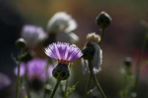 boutons de fleurs isolés avec fond sombre photo