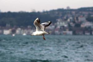 mouette à istanbul, turquie. photo
