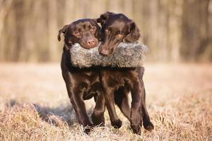 deux chiens portant un jouet de chasse ensemble photo