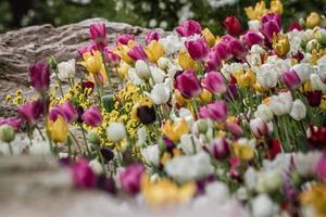 belles tulipes colorées dans un jardin verdoyant d'istanbul photo