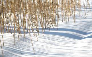 roseaux dans la neige.