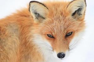 renard dans le champ de neige photo