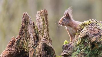 écureuil roux eurasien