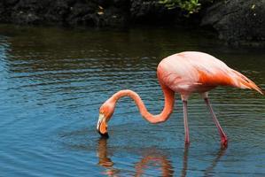 flamant rose dans les îles galapagos photo