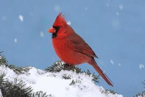 cardinal dans une tempête de neige photo
